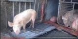 Иркутск: в ДТП перевернулась фура со свиньями