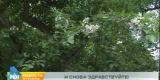 Горностаевая моль атакует деревья в Усолье-Сибирском