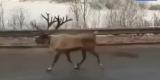 Северный олень сбежал из зоопарка в Иркутске
