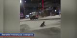 По улицам Усть-Илимска гуляет рысь